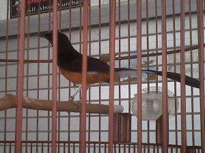Menurut asal,burung ini berasal dari daerah Sumatera